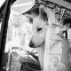 Dog driver, Prague